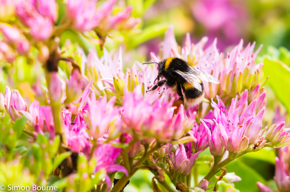 Simon Bourne, photography, photographer, north London, portfolio, image, gardens, summer, pink and yellow, Sedum, bumble bee, wildlife, bee, Nikon