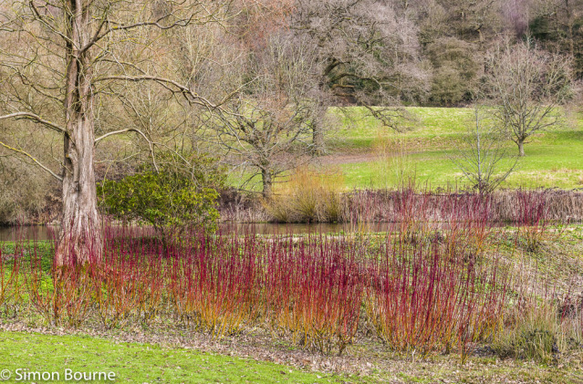 Simon Bourne, photography, photographer, north London, portfolio, image, gardens, winter, spring, lake, Chartwell, Winston Churchill, home, house, grounds, red flowers, Cornus, Nikon