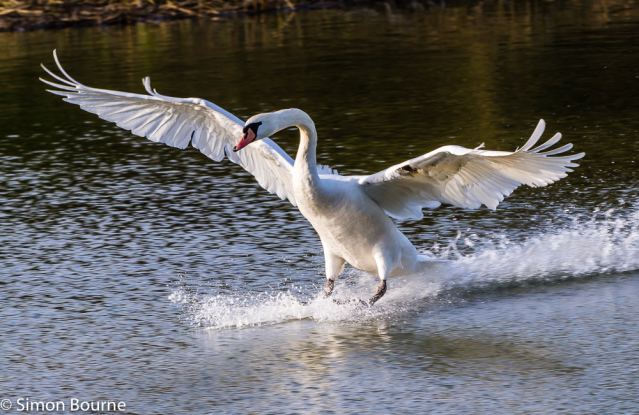 Simon Bourne, photography, photographer, Nikon, north London, portfolio, image, Stowe, winter, wildlife, Mute Swan, Cygnus Olor, countryside, pond, lake, water
