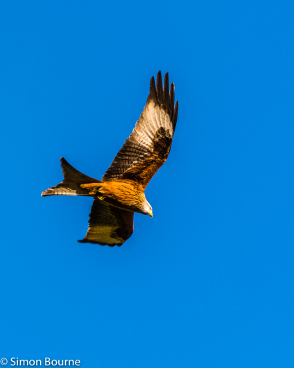 Simon Bourne, photography, photographer, north London, portfolio, image, gardens, winter, Hughenden, wildlife, Red Kite, bird of prey, blue sky, Nikon, Buckinghamshire
