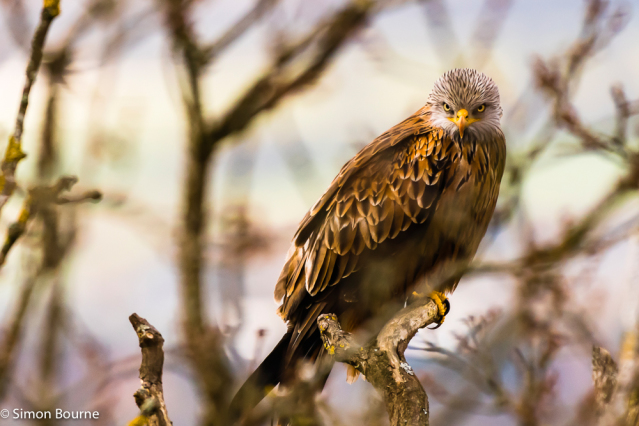 Simon Bourne, photography, photographer, north London, portfolio, image, gardens, spring, Cliveden, wildlife, Red Kite, bird of prey, Nikon, Buckinghamshire, tree