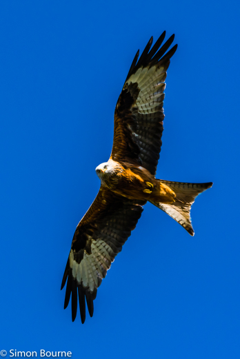 Simon Bourne, photography, photographer, north London, portfolio, image, gardens, spring, Cliveden, wildlife, Red Kite, bird of prey, Nikon, Buckinghamshire