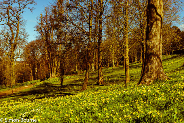 Simon Bourne, photography, photographer, north London, portfolio, image, gardens, spring, Cliveden, home, house, grounds, Astor, Buckinghamshire, Nikon, daffodils, trees, yellow flowers