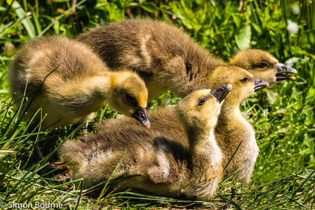 Simon Bourne, photography, photographer, north London, portfolio, image, gardens, spring, wildlife, Chartwell, Kent, Winston Churchill, sun, bathing, grounds, green grass, Greylag Goose, geese, goslings, young, chicks, birds, water, lake, pond, Nikon