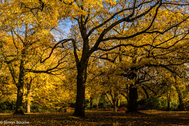 Simon Bourne, photography, photographer, north London, portfolio, image, autumn, fall, morning, landscape, trees, Nikon, Waterlow Park, grounds, woodland, woods, Highgate, yellow, leaves, London