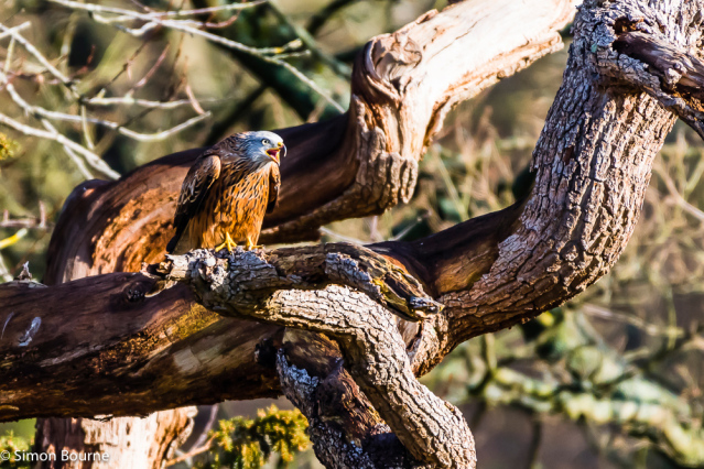 Simon Bourne, photography, photographer, north London, portfolio, image, gardens, winter, Cliveden, wildlife, Red Kite, bird of prey, Nikon, Buckinghamshire, tree, squawking