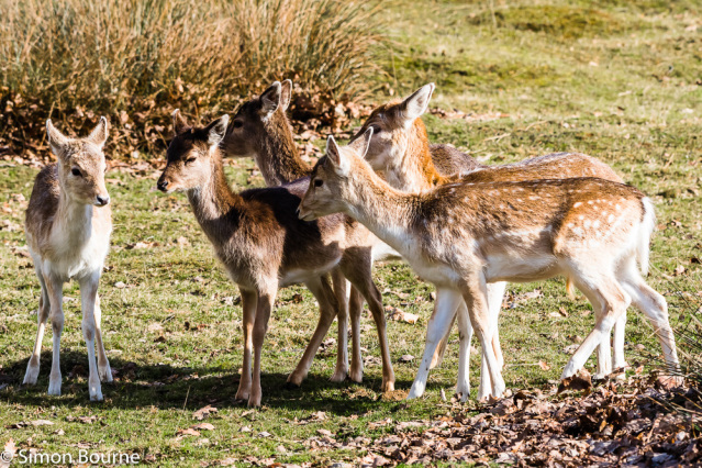 Simon Bourne, photography, photographer, north London, portfolio, image, gardens, winter, park, Knole Park, Kent, grounds, wildlife, deer, Fallow, young, fawns, spotted, spots, Nikon