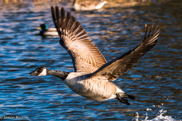 Simon Bourne, photography, photographer, north London, portfolio, image, gardens, spring, Wimpole Estate, wildlife, Canadian Goose, geese, waterfowl, Nikon, Cambridgeshire, lake, wings, taking off, water, beak