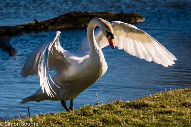 Simon Bourne, photography, photographer, north London, portfolio, image, gardens, spring, Wimpole Estate, wildlife, Mute Swan, white, long neck, waterfowl, Nikon, Cambridgeshire, lake, wings, getting out, water, red beak