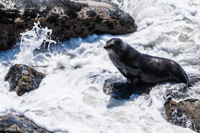 Simon Bourne, photography, photographer, north London, portfolio, image, spring, wildlife, sea mammal, Nikon, Tauranga Bay, Westport, Tasman Sea, South Island, rocks, New Zealand, Aotearoa, waves, surf, swell, spray, black fur, flippers
