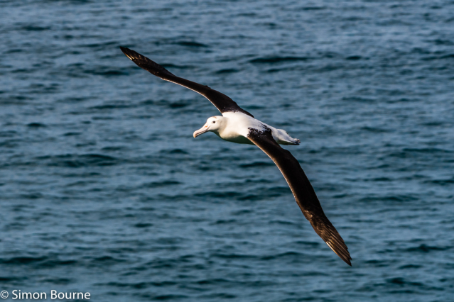 Simon Bourne, photography, photographer, north London, portfolio, image, spring, wildlife, bird, Nikon, Taiaroa Head, Dunedin, Otago Peninsula, South Island, New Zealand, Aotearoa, Royal Albatross, sea, flying, wings, Pacific Ocean, beak