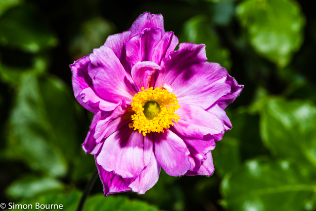 Simon Bourne, photography, photographer, north London, portfolio, image, gardens, summer, Anemone hupehensis, var japonica, Rotkappchen, London, garden designer, SGD, Jilayne Rickards, sunlight, outside, flash, pink flower, purple, green background, Nikon