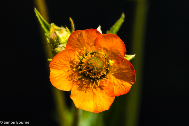 Simon Bourne, photography, photographer, north London, portfolio, image, gardens, spring, summer, Geum chiloense, Mrs J Bradshaw, Avens, London, garden designer, SGD, Jilayne Rickards, sunlight, outside, flash, orange flower, black background, Nikon