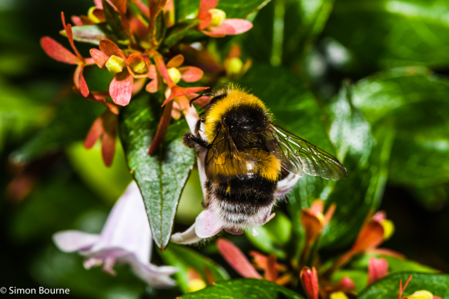 Simon Bourne, photography, photographer, north London, portfolio, image, wildlife, gardens, summer, Nikon, bumble bee, Abelia x grandiflora, Abelia, purple flower, black and yellow, insect