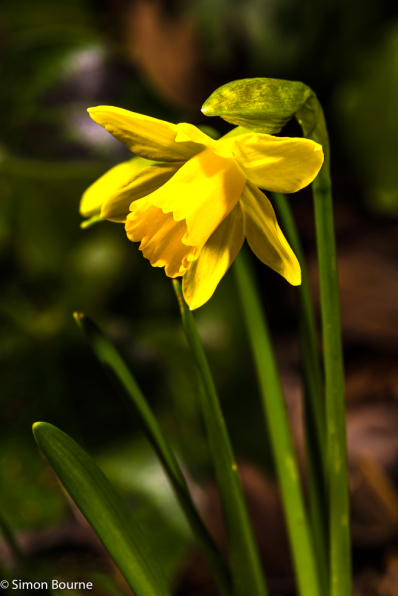 Simon Bourne, photography, photographer, north London, portfolio, image, gardens, winter, spring, Daffodil, Narcissus cyclamineus, Tete-a-Tete, London, garden designer, SGD, Jilayne Rickards, outside, yellow flower