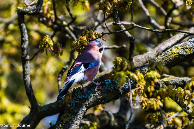 Simon Bourne, photography, photographer, north London, portfolio, image, wildlife, gardens, spring, Nikon, oak tree, Eurasian Jay, perched