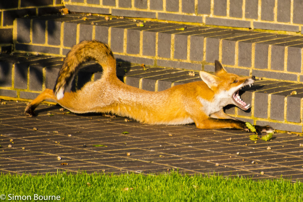 Simon Bourne, photography, photographer, Nikon, north London, portfolio, image, gardens, autumn, wildlife, fox