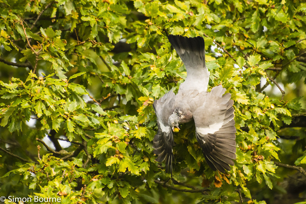 Simon Bourne, photography, photographer, Nikon, north London, portfolio, image, gardens, autumn, wildlife, wood pigeon, acorn, oak tree