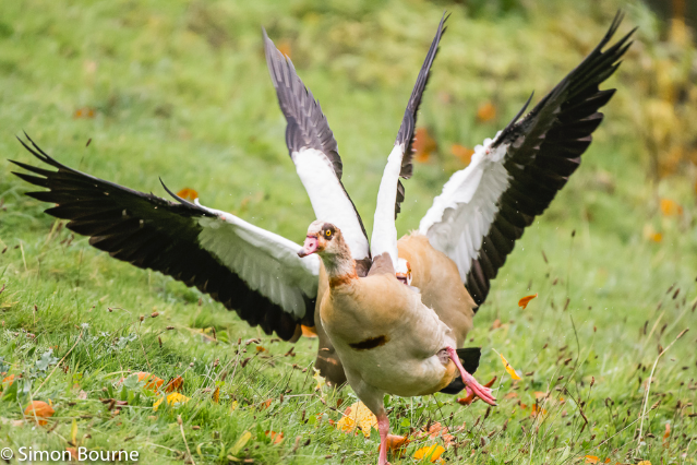 Simon Bourne, photography, photographer, Nikon, north London, portfolio, image, Hampstead Heath, autumn, wildlife, Egyptian Goose