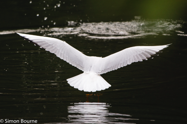 Simon Bourne, photography, photographer, Nikon, north London, portfolio, image, Hampstead Heath, autumn, wildlife, gull, lake, pond