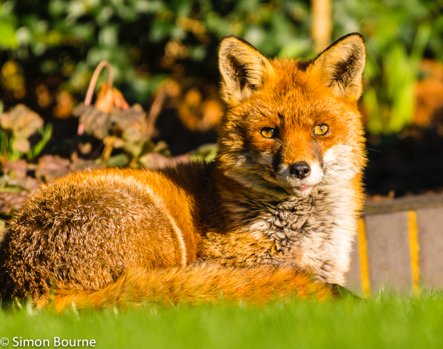 Simon Bourne, photography, photographer, north London, portfolio, image, wildlife, gardens, winter, Nikon, fox