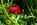 Simon Bourne, photography, photographer, north London, portfolio, image, gardens, spring, Paeonia, Peony, Buckeye Belle, London, garden designer, SGD, Jilayne Rickards, water drops, rain, outside, red flower, green background, single flower