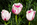 Simon Bourne, photography, photographer, north London, portfolio, image, gardens, spring, Tulipa, Tulip, Pink Diamond hybrid, London, garden designer, SGD, Jilayne Rickards, outside, pink flower, white flower, green background, three flowers
