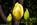 Simon Bourne, photography, photographer, north London, portfolio, image, gardens, spring, Tulipa, tulip, Pink Diamond hybrid, London, garden designer, SGD, Jilayne Rickards, outside, yellow flower, green background