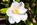 Simon Bourne, photography, photographer, north London, portfolio, image, gardens, spring, Camellia japonica, Lily Pons, London, garden designer, SGD, Jilayne Rickards, outside, white flower, green background